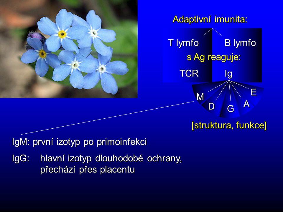 Adaptivní imunita: T lymfo. B lymfo. s Ag reaguje: Ig. TCR. M. D. G. A. E. [struktura, funkce]
